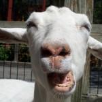 Začelo se je kitajsko leto koze - veselimo se! (video)