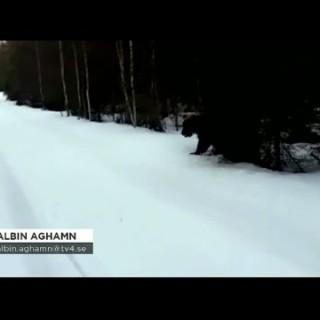 Kako pravilno reagirati, če nas napade medved (video)