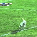 Kuža prekinil nogometno tekmo in se zdivjal, kot da bo jutri konec sveta (video)